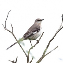 Northern mockingbird. Photo by Pam Young.