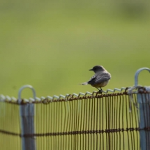 Say's phoebe. Photo by Pam Young
