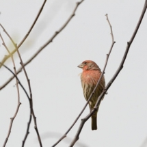 House finch. Photo by Pam Young.