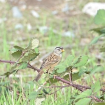 White-crowned sparrow. Photo by Pam Young.